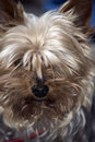 Mini yorkie dog portrait Royalty Free Stock Photo