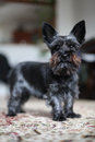 Miniature black schnauzer dog Royalty Free Stock Photo