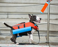 Miniature bull terrier in his swim vest a a getting ready to jump the pool for a toy Royalty Free Stock Photos