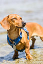 Miniature Dachshund with blue harness squinting Stock Images