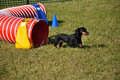Miniature Dachshund Exiting Agility Tunnel Royalty Free Stock Photo