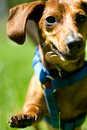 Miniature Dachshund in mid stride Royalty Free Stock Photography