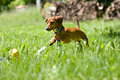 Miniature Dachshund pouncing on toy Stock Images