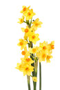 Miniature daffodils arrangement of daffodil flowers isolated against white Royalty Free Stock Photos