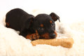 Miniature doberman toy pinsher puppy dog adorable on white background Stock Photos