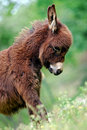 Miniature Donkey in Field Royalty Free Stock Photos