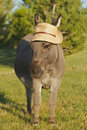 Miniature donkey frontal with hat Stock Image