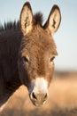 Miniature donkey headshot closeup vertical photo of a jenny Stock Images