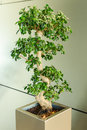 Miniature ficus tree bonsai japanese traditional art in interior of modern office Stock Image