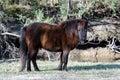 Miniature horse Royalty Free Stock Photo