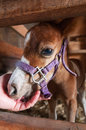 Miniature horse foal lies head in hand days old Royalty Free Stock Photos