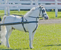 Miniature Horse in Harness Royalty Free Stock Photo