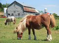 Miniature horses on a farm Royalty Free Stock Photo
