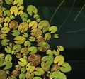 Miniature patterned water lily leaves background - image
