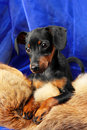 Miniature Pinscher Royalty Free Stock Photo