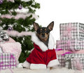 Miniature Pinscher, 3 years old, wearing Santa Royalty Free Stock Photo