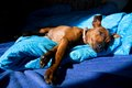 Miniature pinscher brown lying on a blue blanket dog in bed Royalty Free Stock Photo