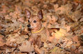 Miniature pinscher lie on the dead leaf in autumn Stock Images