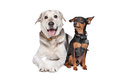Miniature Pinscher and a mixed breed Lab Stock Photo
