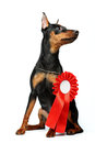 Miniature Pinscher puppy Royalty Free Stock Images