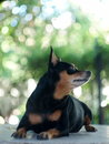Miniature pinscher smiling looking playing in a field green area Stock Photo