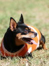 Miniature pinscher smiling looking playing in a field green area Royalty Free Stock Photos