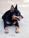 Miniature pinscher smiling looking playing in a field urban Stock Image