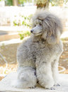 Miniature poodle a close up of a small beautiful and adorable silver gray dog poodles are exceptionally intelligent usually Royalty Free Stock Photo