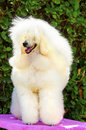 Miniature poodle a close up of a small beautiful and adorable white cream dog poodles are exceptionally intelligent usually Stock Image