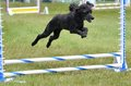 Miniature Poodle at a Dog Agility Trial Royalty Free Stock Photo