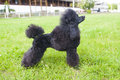 Miniature Poodle Royalty Free Stock Photo