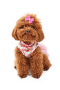 Miniature Poodle in Pink Outfit Royalty Free Stock Photography