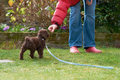 Miniature poodle puppy lead and clicker training for a in the garden Stock Photography