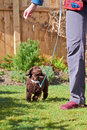 Miniature poodle puppy a playing on the grass in the garden Royalty Free Stock Photos