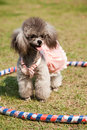 A miniature poodle standing on the lawn Royalty Free Stock Photography
