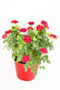 Miniature Rose Bush Stock Images