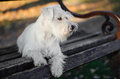 Miniature schnauzer on bench sitting in sunset Royalty Free Stock Photography