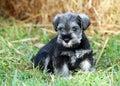 Miniature Schnauzer Black And ...