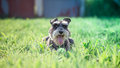 Miniature schnauzer Royalty Free Stock Photo