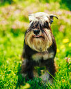 Miniature Schnauzer Dog Sitting In Green Grass Outdoor Royalty Free Stock Photo