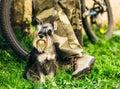 Miniature Schnauzer Dog Sitting In Green Grass Outdoor Royalty Free Stock Photo