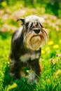 Miniature Schnauzer Dog Sitting In Green Grass Royalty Free Stock Photo