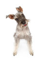 Miniature Schnauzer Dog Tilting Head Royalty Free Stock Images