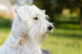 Miniature schnauzer portrait white in nature Stock Photo