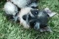 Miniature Schnauzer Puppy Outdoors Royalty Free Stock Photo
