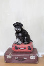 Miniature schnauzer  puppy sitting on suitcases Royalty Free Stock Photo