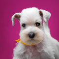 Miniature schnauzer puppy white on pink background Stock Photos