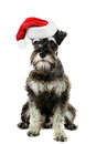 Miniature schnauzer a six month old salt and pepper minature against a white background wearing a christmas hat Stock Image