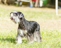 Miniature schnauzer a small black and silver dog standing on the grass looking very happy it is known for being an intelligent Stock Photo