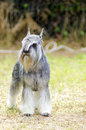 Miniature schnauzer a small salt and pepper gray dog standing on the grass looking very happy it is known for being an intelligent Royalty Free Stock Photo
